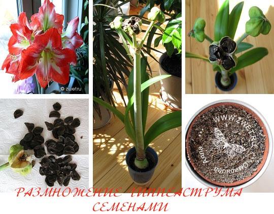 Гиппеаструм выращивание из семян домашних условиях 16
