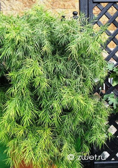 Ногоплодник Podocarpus  Комнатные и садовые растения