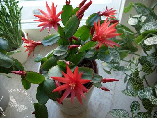 Фото комнатного цветка рипсалис 10