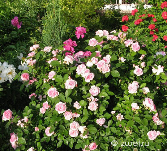 Розы кустовые для подмосковья
